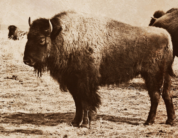 Bison from the 19th Century